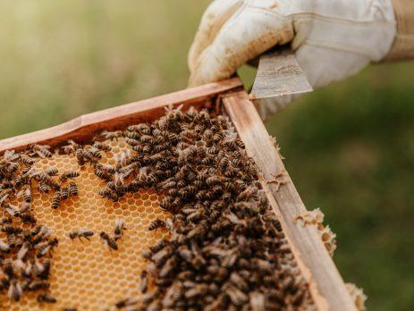 Gloved beekeeper handling bees